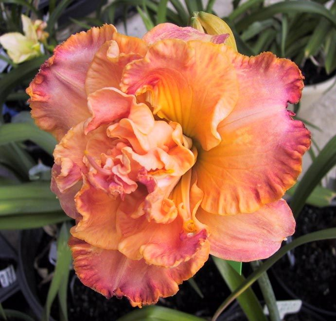 Love this Day Lily. Daylilies name?