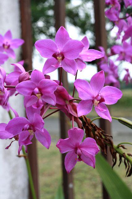Orquideas ; Vivero del Valle & Ginebra ( Colombia )