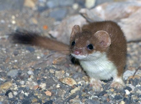 Baby short tailed weasel - photo#45