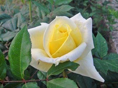 Bunga Mawar Kuning Muda Close Up
