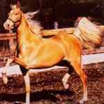 Oro caballo de silla de América - americano de oro Saddlebred - LOVASOK.HU