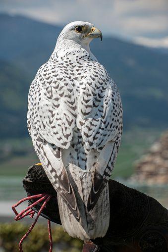 Gyrfalcon (Falco rusticolus), captive, Carinthia, Austria ...