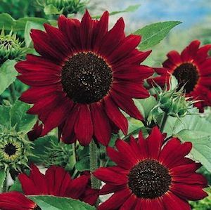Velvet Queen Sunflower.  Magnificent flowers with velvety crimson petals and black hearts. The well-branched plants grow to 5-feet tall. Highly recommended.  Plant from seed. ❤❤❤❤