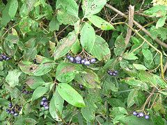 Cornus amomum 'Silky Dogwood'