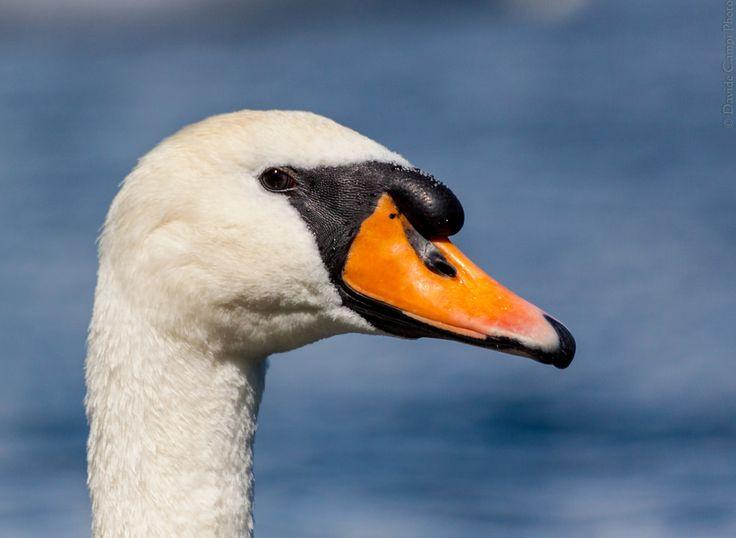 Swan   Flickr - Photo Sharing!