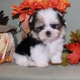 Teacup Yorkie Puppies & Toy Poodles for Sale in Louisiana