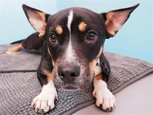 Hi, I'm Pancake and I'm hoping you're the best friend for life I've been searching for! Add me to your life, and we can do all sorts of fun things together:  go for walks, play fun games, learn new tricks, and have great times together. It'll be fun for us to learn about each other as we spend time together doing all the things best friends do.  I'm always ready to make new friends, and greet a smiling face and gentle touch with wiggles and wags. I do so hope you'l...