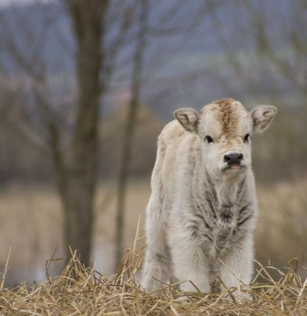 Unimpressed fluffy baby cow