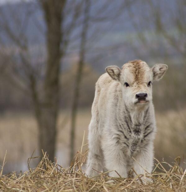 Unimpressed fluffy baby cow | Animals | Pinterest