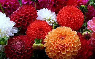 wallpapernarium: Bellas flores dalias