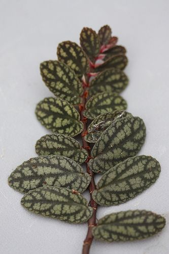 Pellionia pulchra, aka Satin Pellionia, Polynesian Ivy, Watermelon Vine | Flickr - seedmoney1