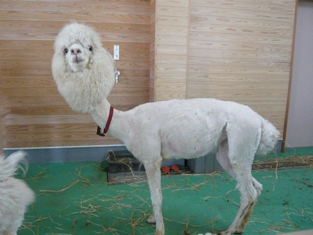 25 Adorably Tragic Half-Shaved Animals. I almost couldn't handle this.