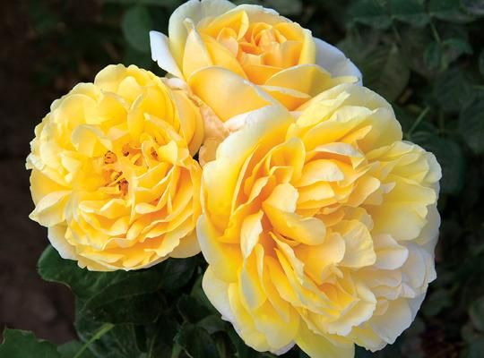 """Roses In Garden: 17 Best Images About ROMANTICA ROSES From The""""HOUSE OF"""