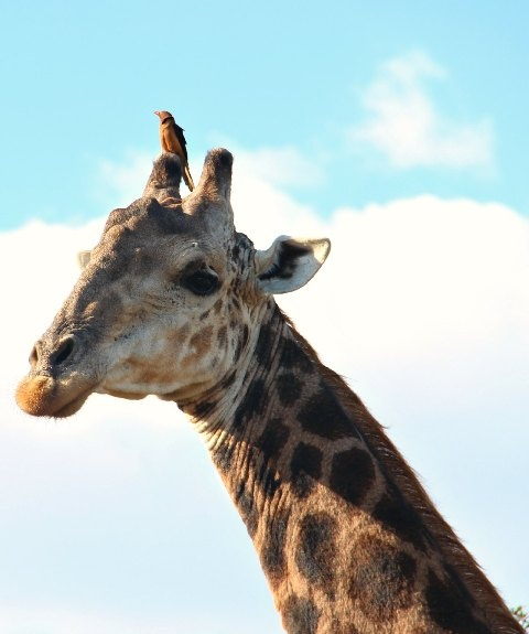 A  Red-billed Oxpecker on a Giraffe's head at Ubizane