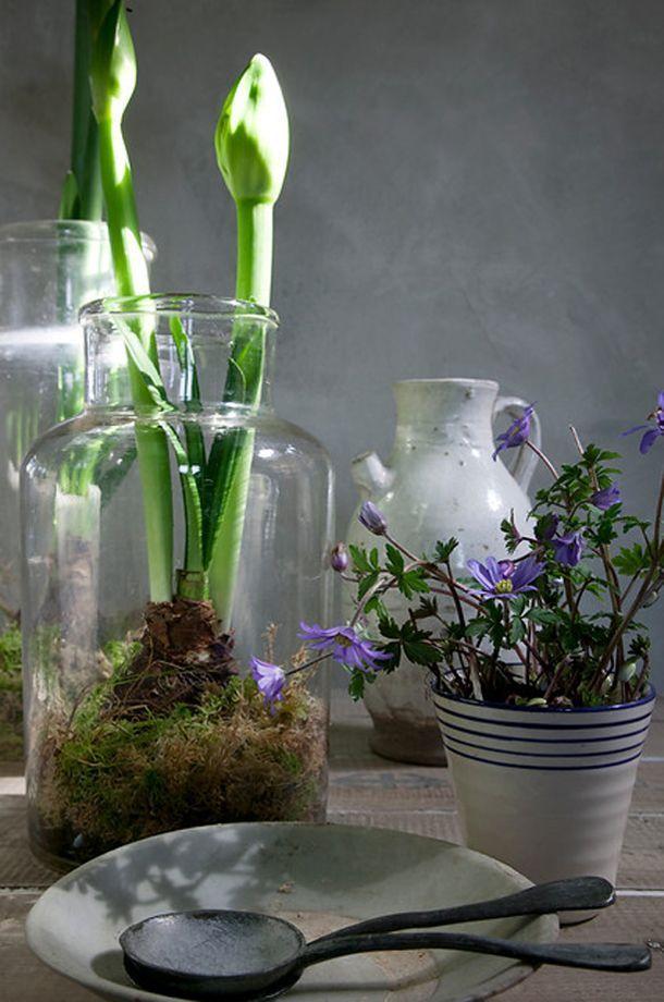Styling Amaryllis Topfe Vase Glas Blume Stillleben Amaryllis Blume Glas Stillleben Styling Topfe V Amaryllis Bulbs Amaryllis Arrangement