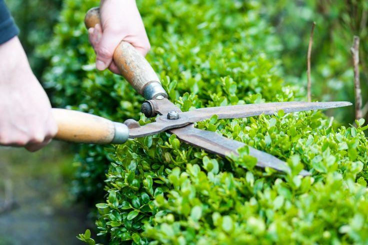 Как создать идеальный верх стриженной изгороди? - Ботаничка.ru