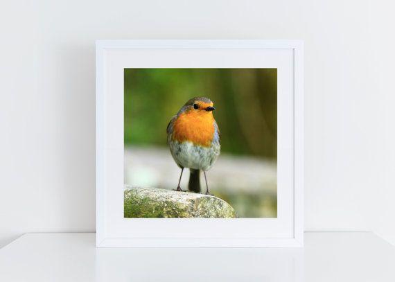 Robin Red Breast Print, Louie Robin, Bird Photography, Original Photography, Bird Photo, Wall Art, Home Decor, Square Photo Print