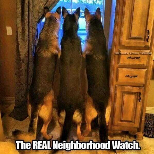 German Shepherd patrol!