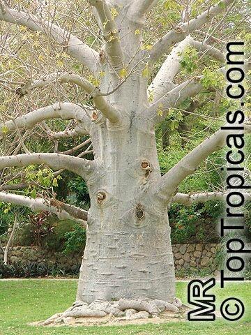 Adansonia digitata Baobab tree.