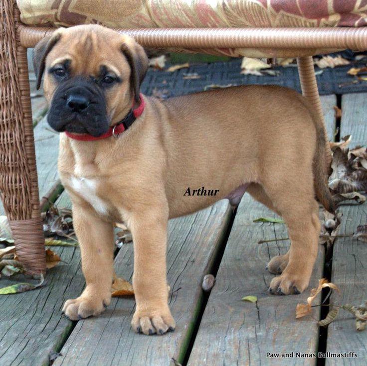 My Bullmastiff Puppy, Arthur @ 6 weeks … he looks like he has an angel on his …  – CooӀ Píϲϯurҽʂ ♥ Årϯ