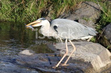 Bild bearbeiten #94957453: Heron with prey - iStock DE
