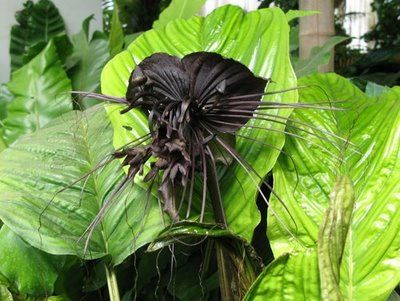 Tacca chantrieri [Dioscoreaceae - the Yam family]. After seeing the diverse array of black orchids out there, it is tempting to classify this sinister thing as an orchid. The bat flower, as it is affectionately known, actually belongs to the plant family that includes yams and other herbaceous vines. What appears to be large, darkly coloured petals are in fact involucral bracts, and not floral structures at all, just like the festive red 'petals' of the poinsettia.