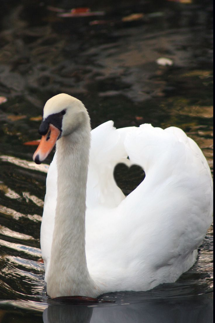 Swans mate for life ~ I love the way the wings shape a heart.