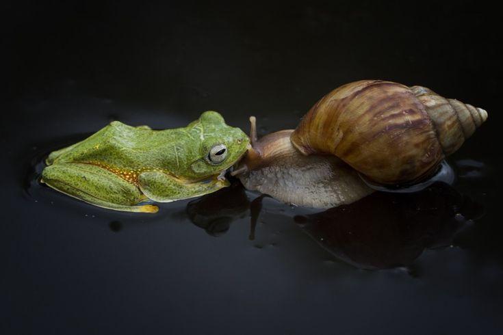 Il fotografo Yusri Harisandi è stato testimone in Indonesia di un curioso siparietto tra una rana volante di Wallace e una lumaca gigante africana. Seduto a 30 centimentri di distanza, ha fotografato le due bestiole mentre giocavano insieme.