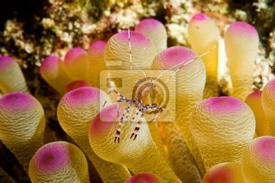 caribbean anemone shrimp fotoboard