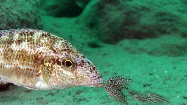 V I D É O Full H D Afrique - Plongée au cœur du lac Malawi, avec les espèces mystérieuses de cichlidés... Plus de vidéos sur → http://www.plongeurs.tv/