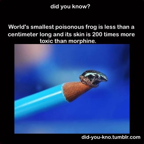 did you know? worlds smallest poisonous frog