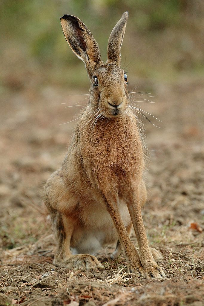 Brown Hare, sitting tall after sunset, September evening Suffolk. Lepus europaeus
