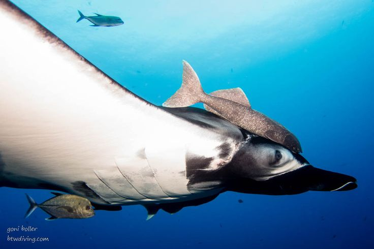 Revillagigedos liveaboard to the world's friendliest mantas and dolphins  If you like big stuff - you will love the Revillagigedos, also called Socorro, to dive with sharks, mantas and dolphins, if you're lucky even with humpback whales :)