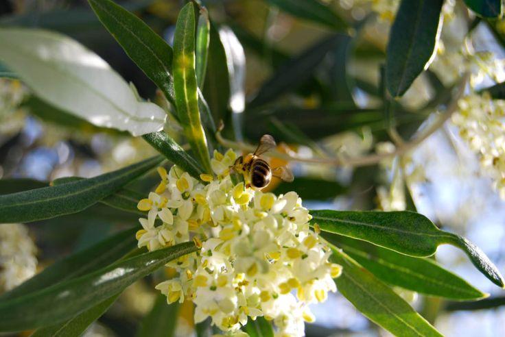 Eliris olive blossom 2015