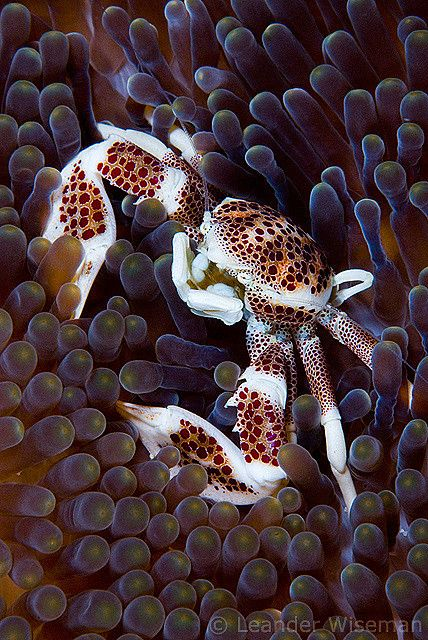 Porcelain Crab / Layang Layang, Malaysia, Borneo. The shell mottling looks like a cheetah. Fascinating.