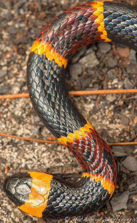loveforearth: Eastern cobra coral (Micrurus Fulvius Fulvius) (por Nathanael Herrera)