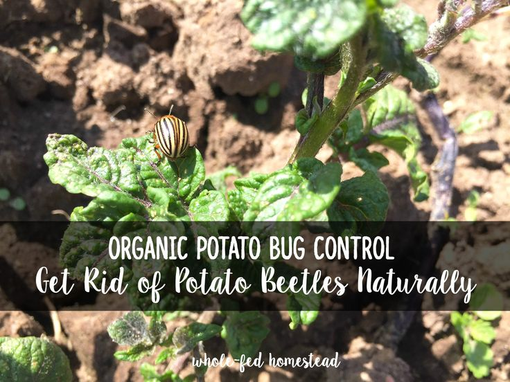 Get Rid Of Potato Bugs Naturally