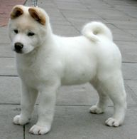 Akita is known as a powerful, dignified large dog breed originating from Japan. They can be quite alert with strangers but affectionate with family members. There are actually two separate varieties as Japanese Akita or the American Akita. The American Akita usually has thinner coat and comes with more colors.