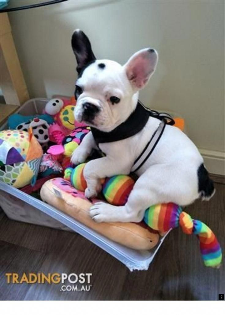 French Bulldog Playful And Smart In 2020 French Bulldog For Sale French Bulldog Bulldogs For Sale