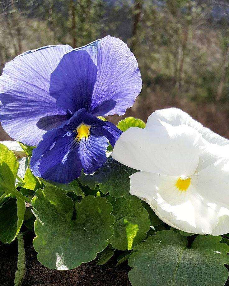 Nämä kaunottaret selvisivät aamun räntäsateesta. Nyt ulkona paistaa ihana aurinko joka sulatti lumet ja maailma on juuri niin kaunis kun se kuumeisilla silmillä likaisten ikkunoiden läpi katsottuna näyttää  #orvokit #violets #kukat #flowers #flowerstagram #instaflower #igflower #ig_flowers #flowerpower #kevät #spring #newbeginnings #uudetalut #seasonsoffinland #thisisfinland #suomi #finland #ig_finland #petitejoys #lifestyleblogger #nelkytplusblogit #åblogit