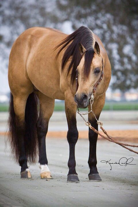 Buckskin quarter horse -- my DREAM horse!!