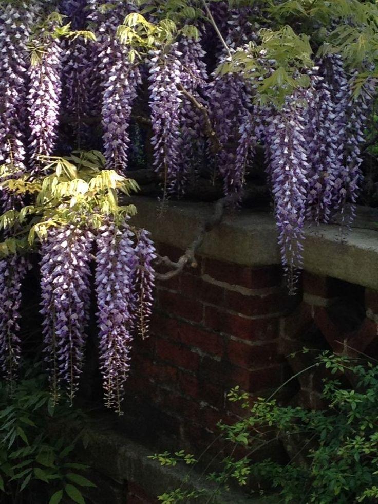 I love wisteria: Wisteria Dream, Planta Colgant, Dumbarton Oak, Gardens Wisteria, Gardens Idea, Magic Gardens, Wisteria Gardens, Wisteria Lane, Oak Gardens