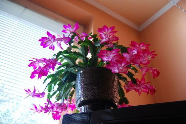 El Cactus de Navidad puede sufrir, fundamentalmente, tres enfermedades. Te las describimos en este post.