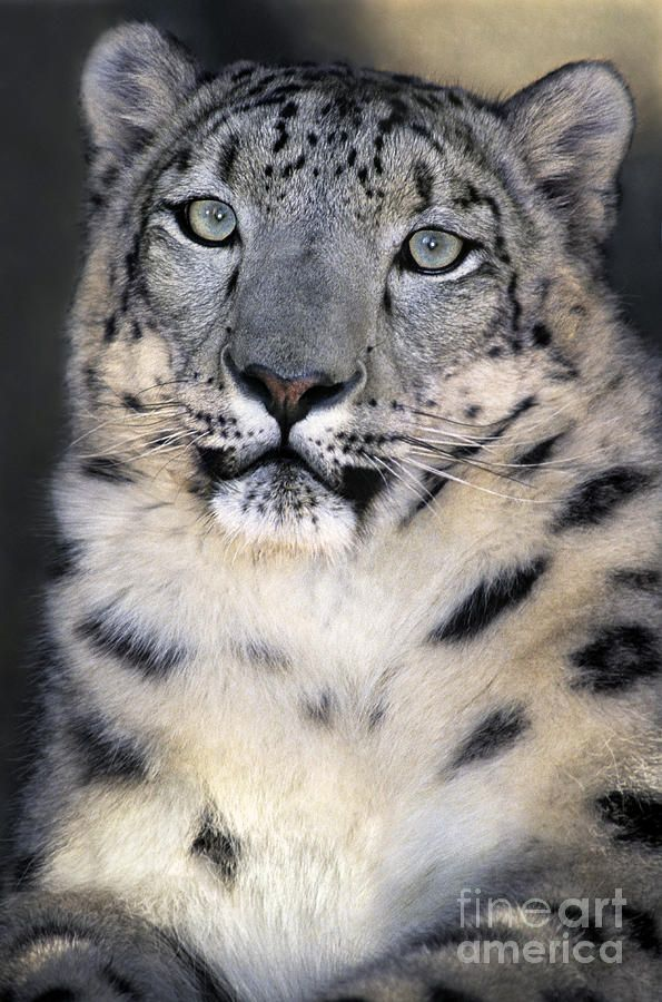 Snow Leopard, Endangered Species by Dave Welling