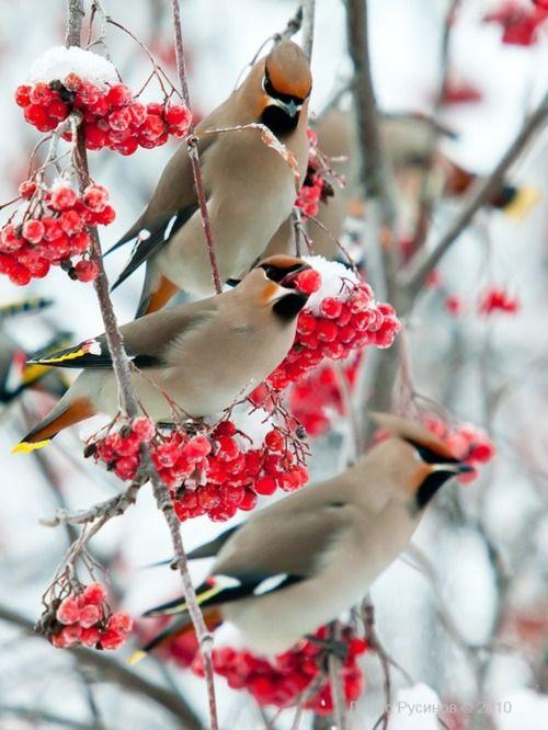 waxwing birds | winter | snow