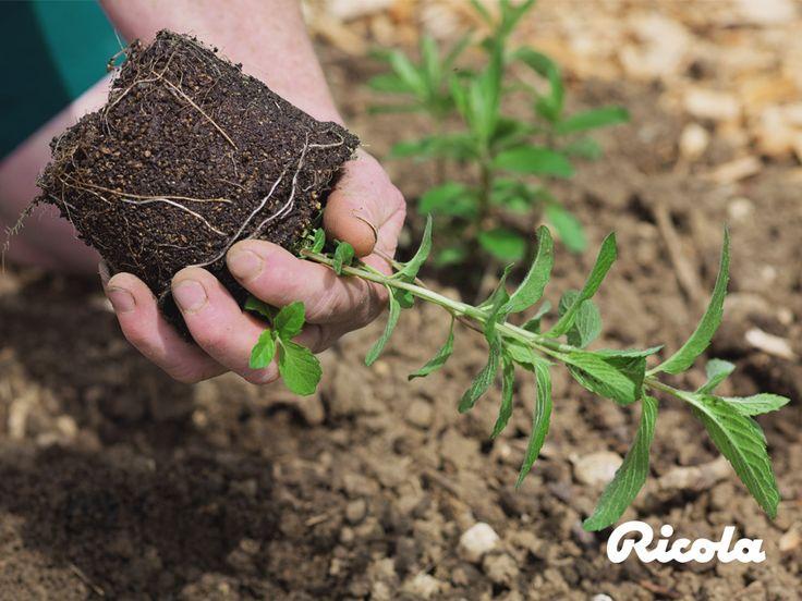 #Herb #Planting #Ricola