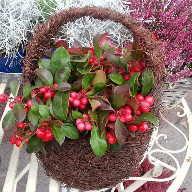 Kori täynnä marjoja. Näyttävät puolukoilta, mutta kasvi on #lamosalali sopii hyvin myös jokuasetelmiin ★ basket full of #berries seem lingonberries but #growth is #wintergreen ★ #kukat #blommor #flowees #kasvi #punainen #red #kukkakauppa #flowershop #kotka #finland