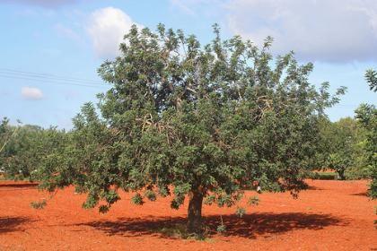 Karob, carob, Szentjánoskenyérfa (20/30cm) (Ceratonia siliqua): Ciprusok, cédrusok, fenyőfélék | Ár: 1500.00 Ft