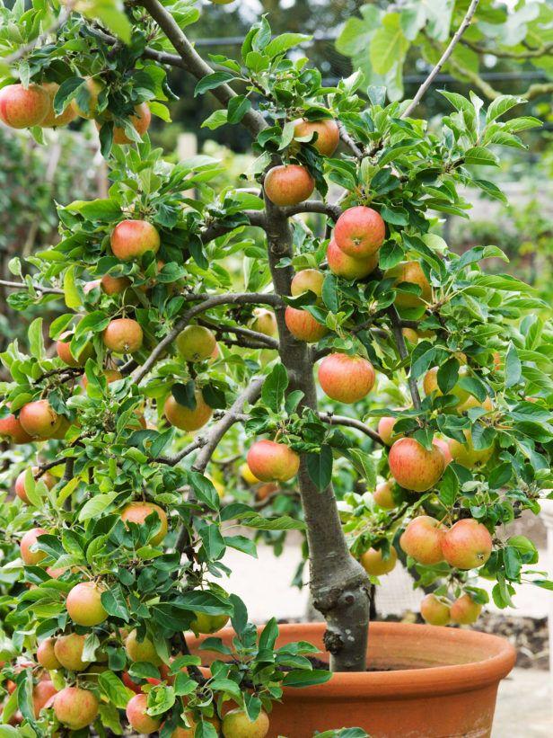 dwarf fiesta apple tree produces sweet fall fruits