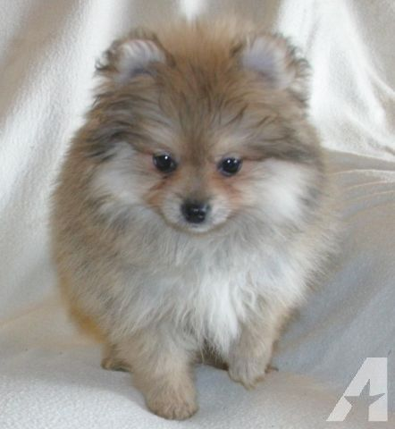 CREAM SABLE TOY POMERANIAN FEMALE